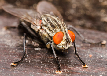 Closeup of a fly sitting on dark wood