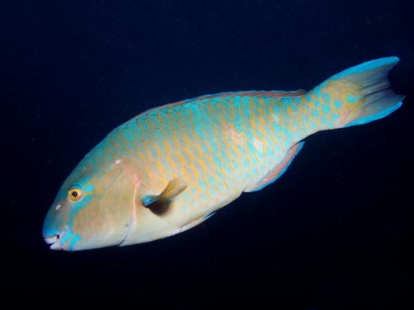 blue band parrotfish