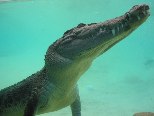 saltwater crocodile or crocodile