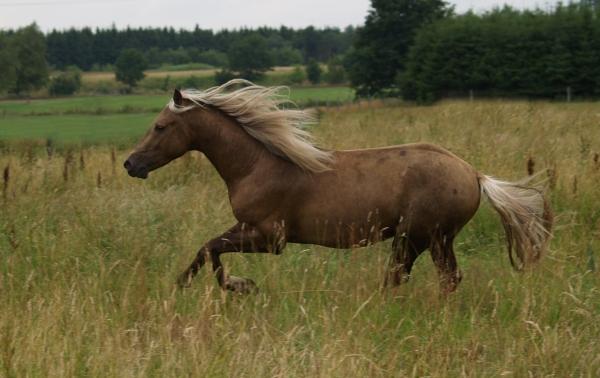 falbe galloping