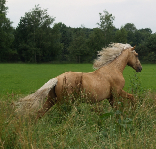 palomino in action