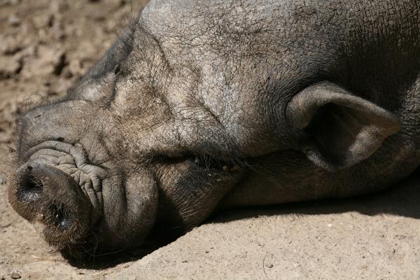 haengebauchschwein