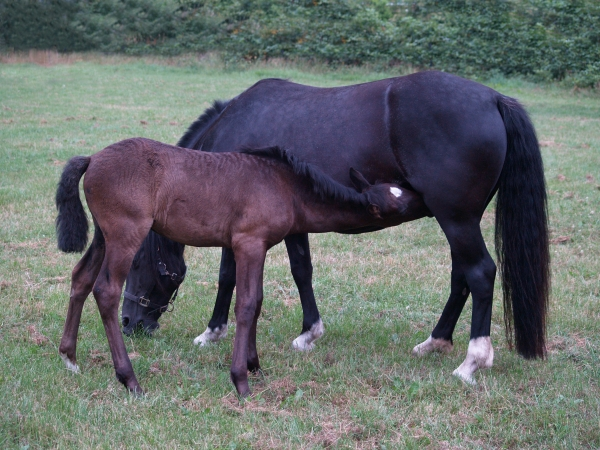 foals and mother mare