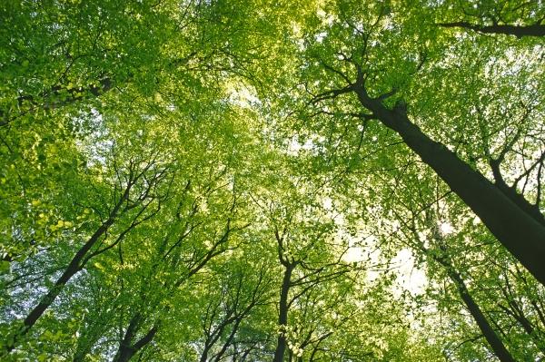 tree tops in spring
