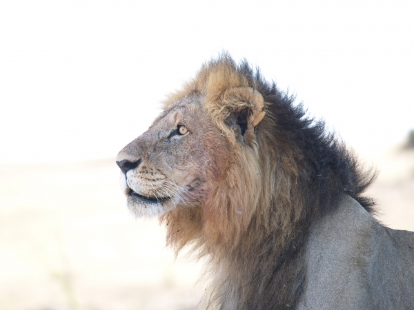 male lion in the backlight