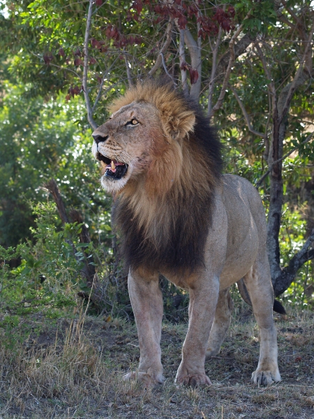 standing male lion