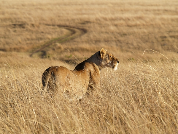 lioness in the morning light