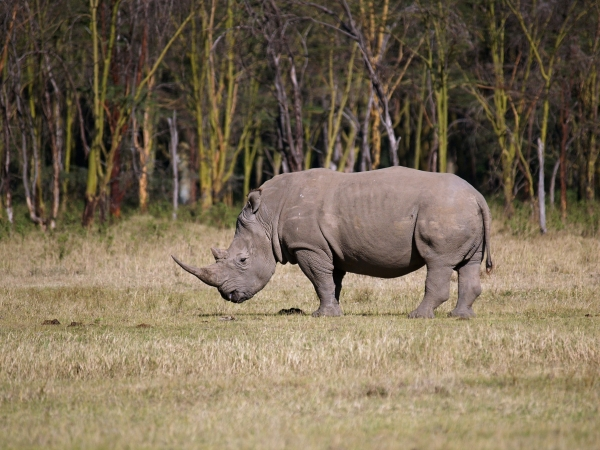 white rhinoceros sideways