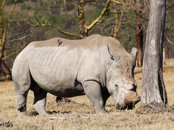 rhino on scratch tree