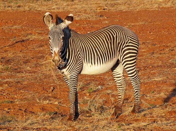 grevy zebra at breakfast