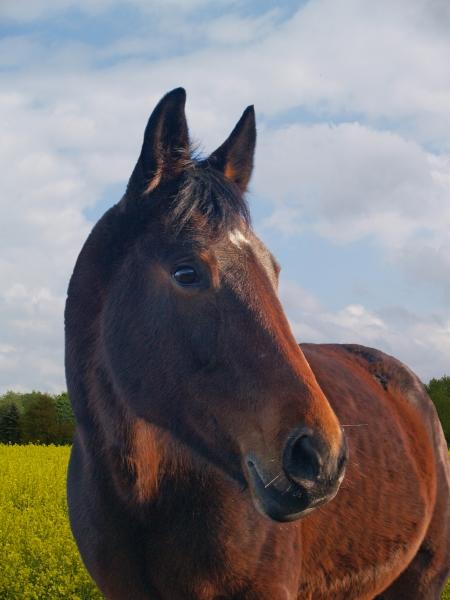 trotting mare in the rape field