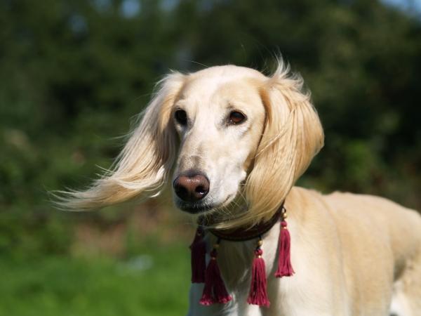 greyhound in the wind