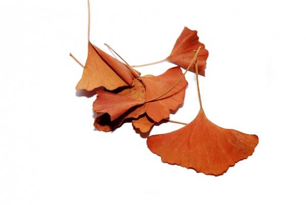 ginkgo brown leaves
