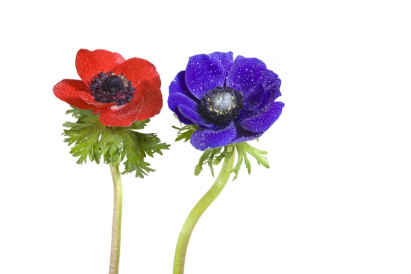 red and blue anemone