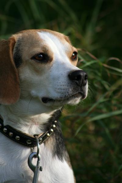 beagle jule