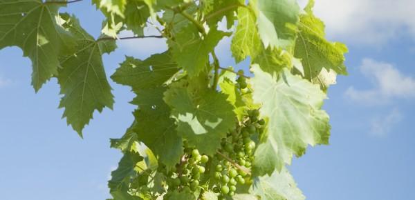grapevine background