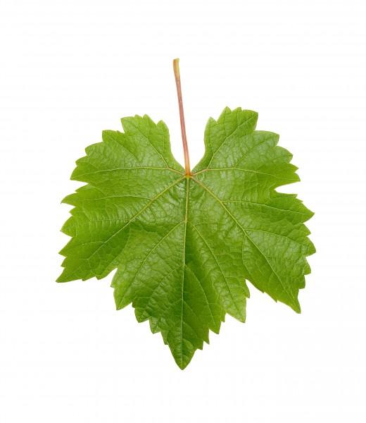 grapevine leaf