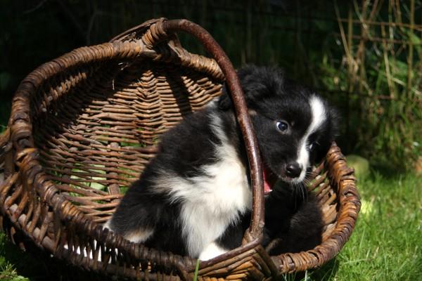 aussie puppy 3