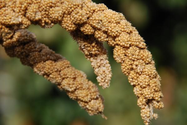 northern millet setaria italica