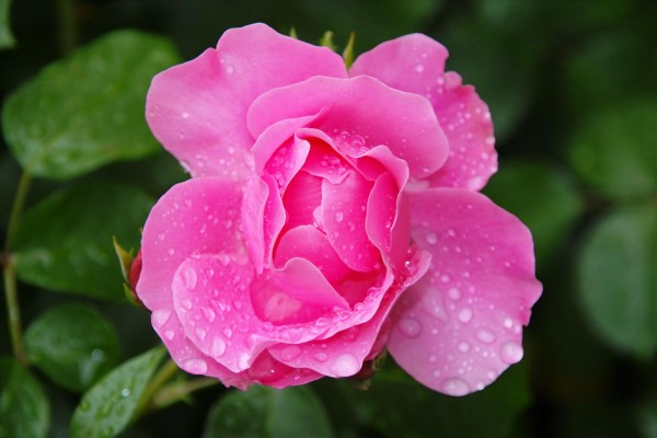 rose with tau