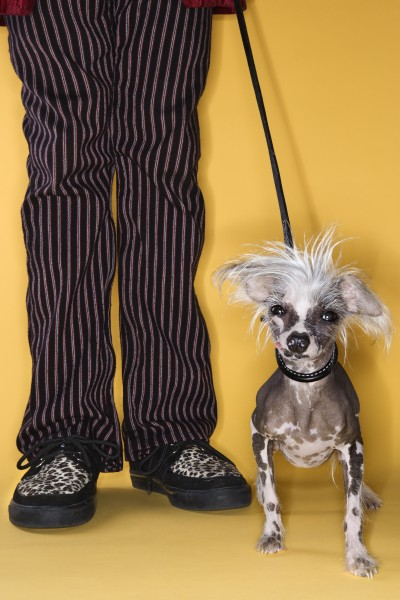 chinese crested dog on leash with