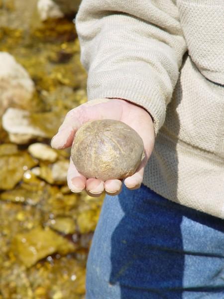 sea urchin fossil