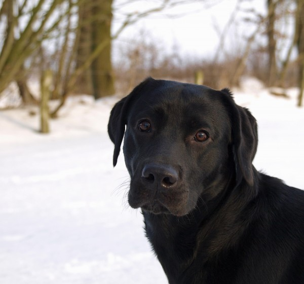 dog, portrait, in, snow - 2716928