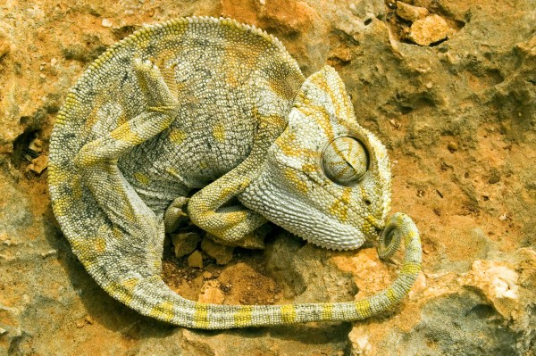 a chameleon lies on a stone