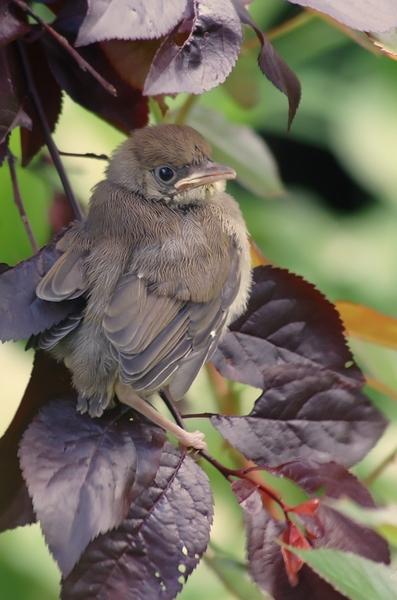 vogel junior
