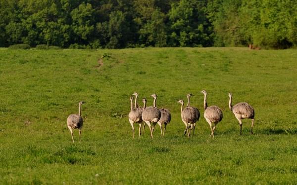rheas near lake ratzeburg