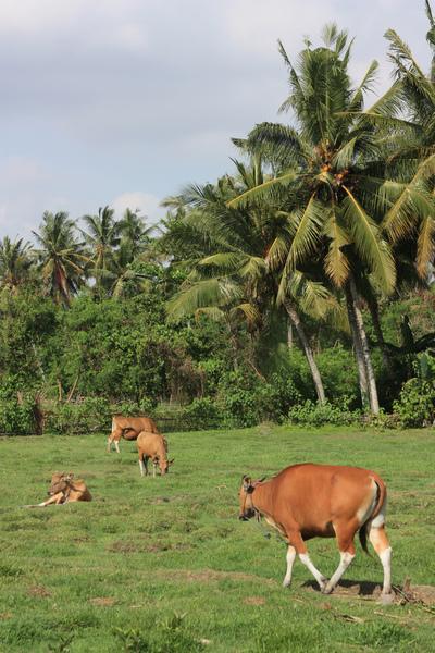 tropical kuhweide