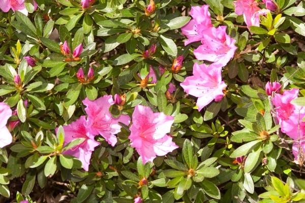 azaleas are flowering shrubs making up