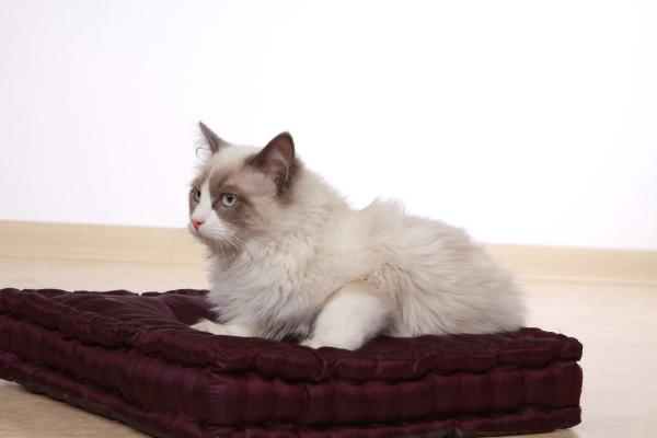 purebred cat ragdoll