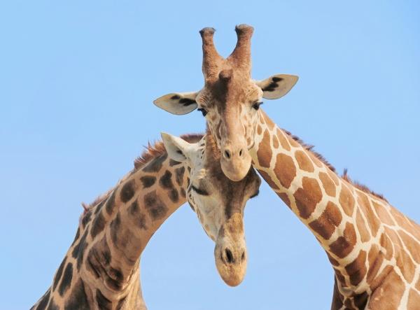 giraffe couple in love