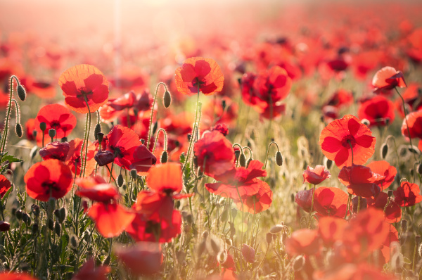 red ocean of poppies