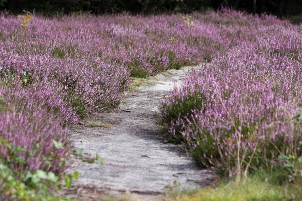 small path through the heath