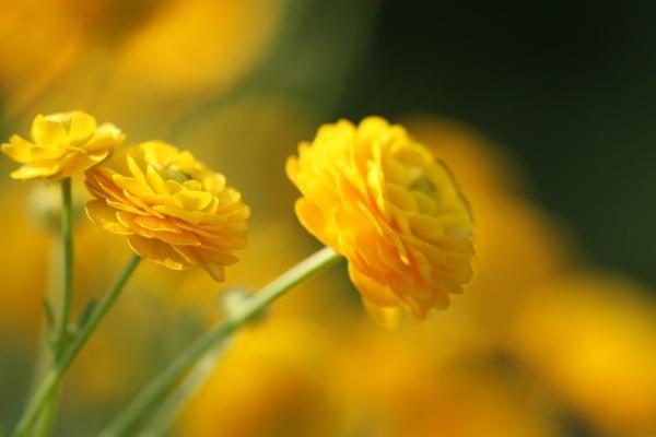 close up of a ranunculus