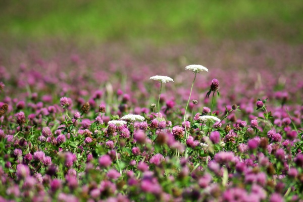 clover meadow with chervil