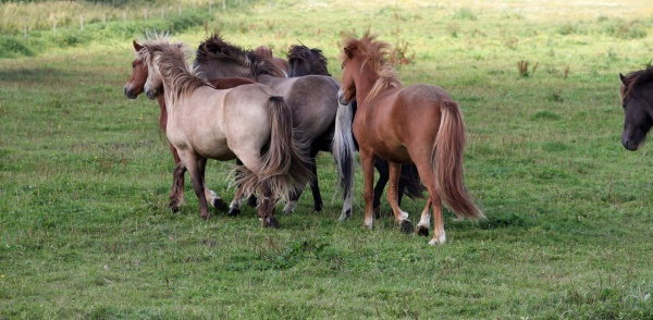 iceland ponies in the group