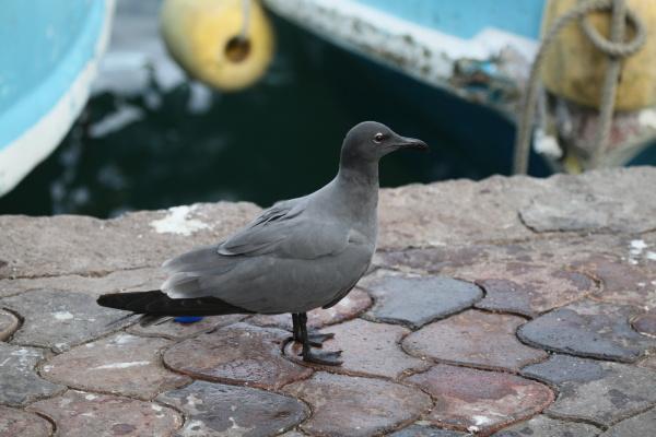 lava gull highly endangered
