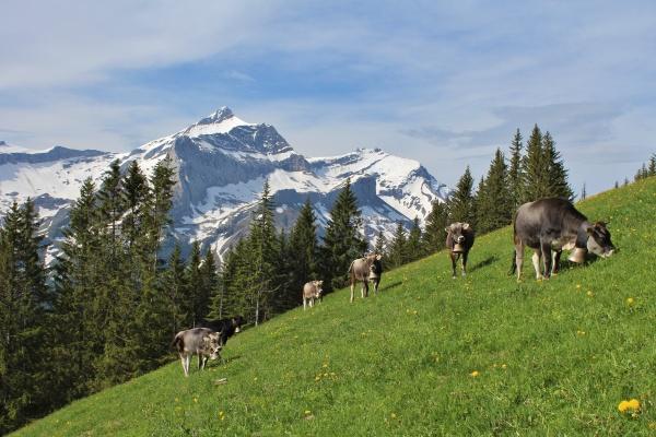 herd of grazing cows in front