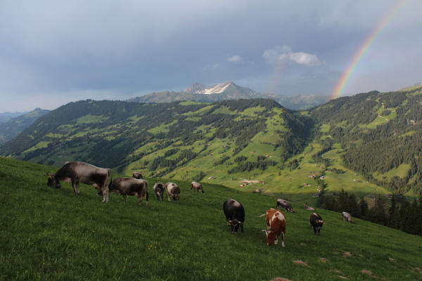 grazing cows in the bernese oberland