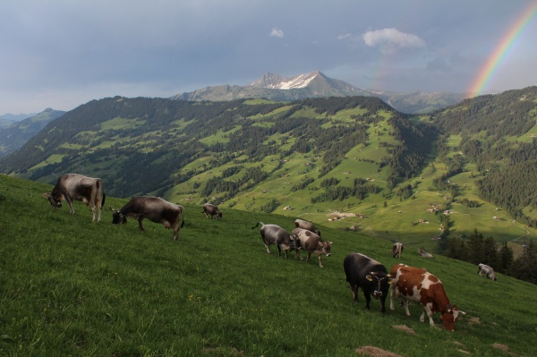 herd of cattle grazing on a