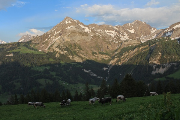 evening in the swiss alps grazing