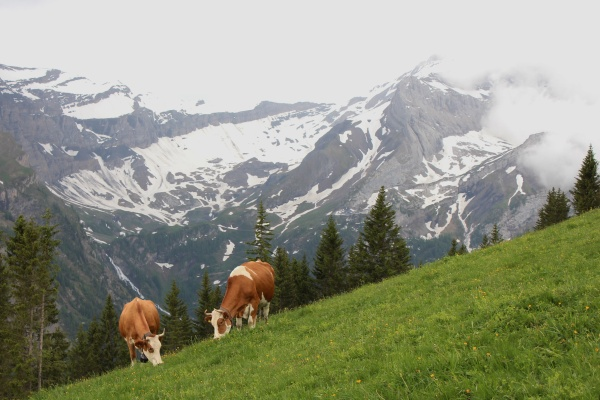 grazing cows in the swiss alps