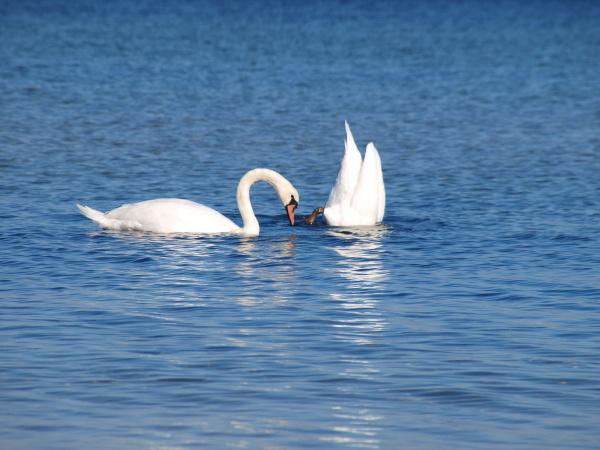 water, north sea, salt water, sea, ocean, swan - 9562972