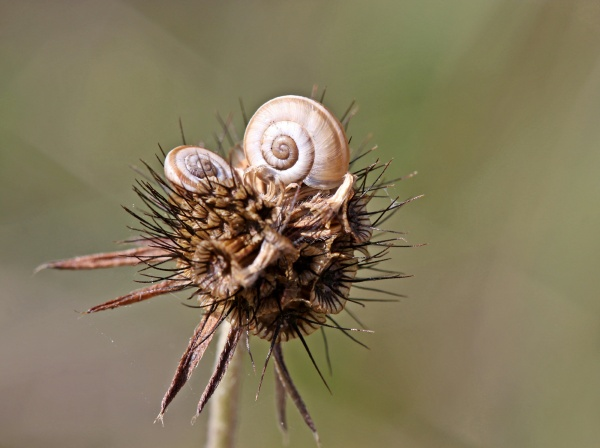 two young heath snails on seeds