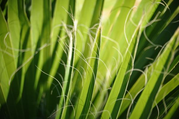 spain palm leaf