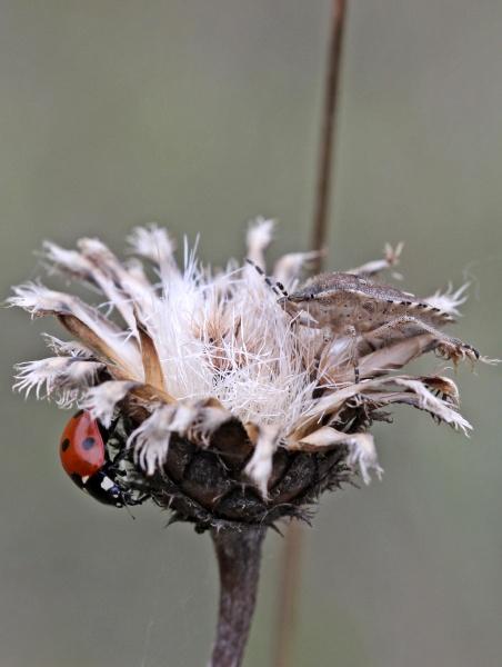 ladybug and beerenwanze on seeds prior