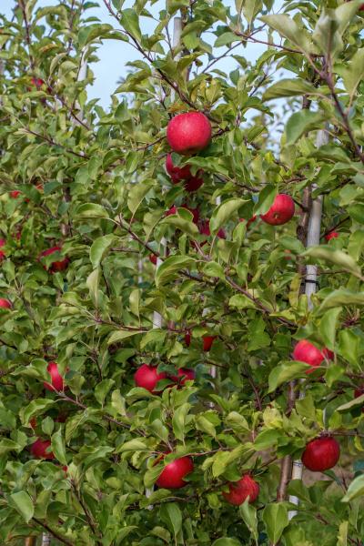 apple, harvest - 10509031
